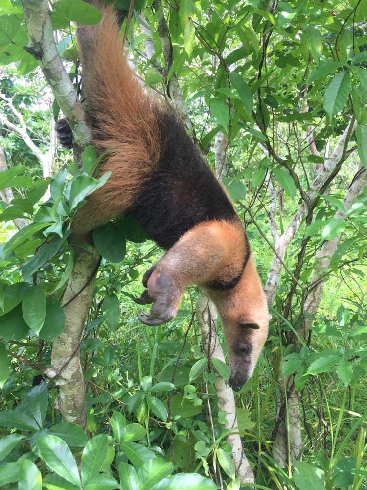 Anteater_web